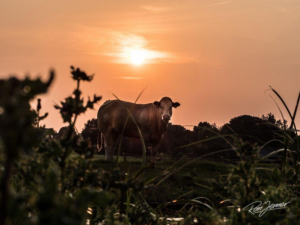 Koe die poseert